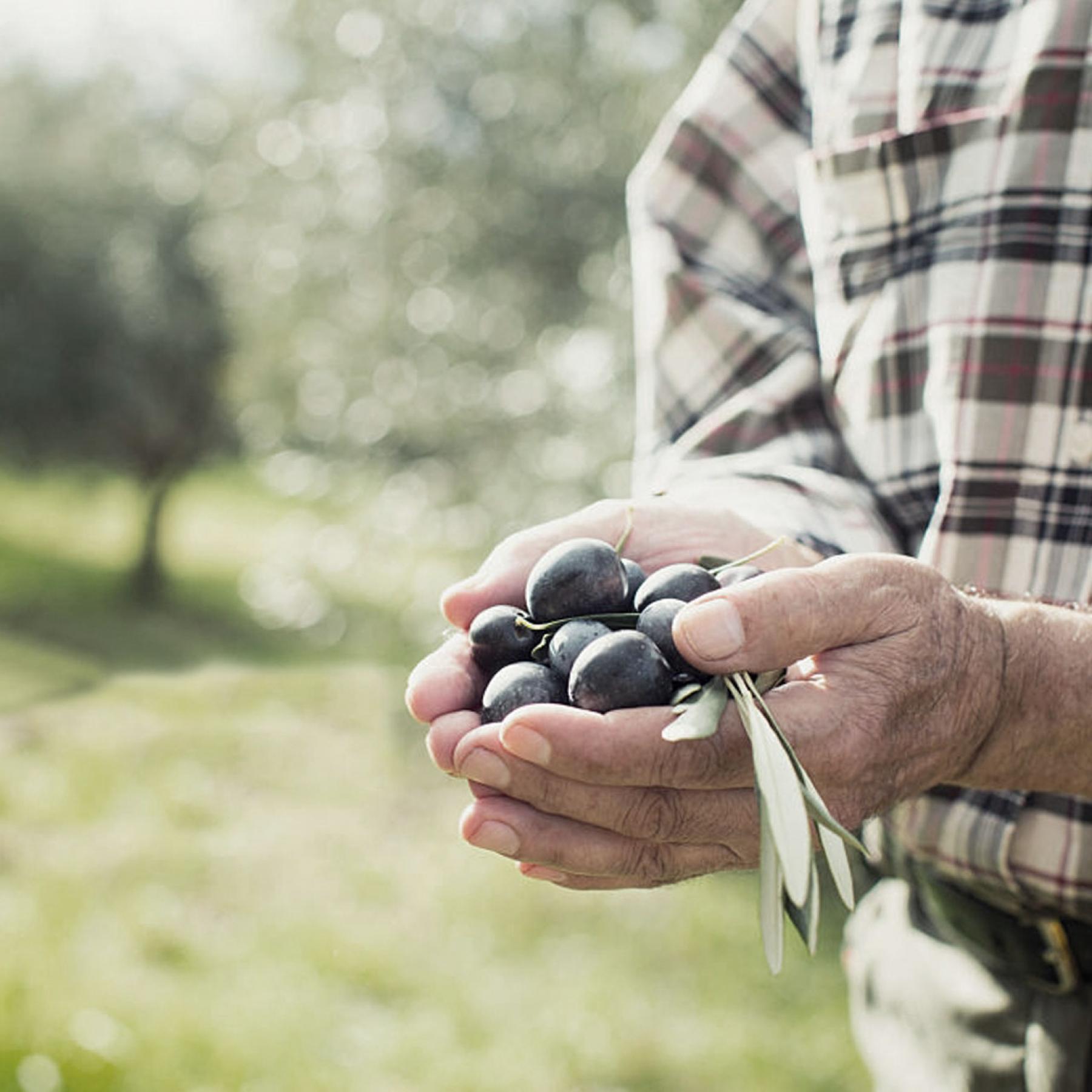 CandiaStrom - Olive oil treatment 1